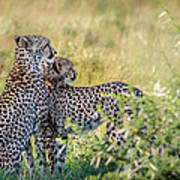 Cheetah Mother And Son Poster