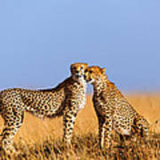 Cheetah Mother With Daughter Masai Mara Poster