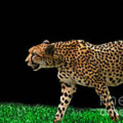Cheetah On The Prowl Poster