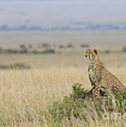 Cheetah Perched On A Mound Poster