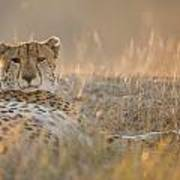 Cheetah Prepares To Sleep Poster