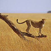Cheetah Standing On Dead Tree Poster