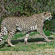 Cheetah Strolling Poster