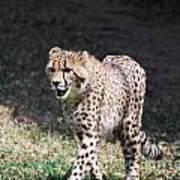 Cheetah Strutting Poster