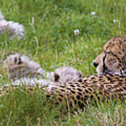 Cheetah With Cubs Poster