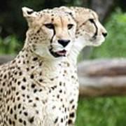 Cheetah's 05 Poster