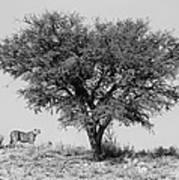 Cheetahs And A Tree Poster