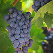 Chelan Blue Grapes Poster