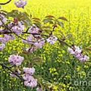 Cherry Blossom And Rapeseed Poster