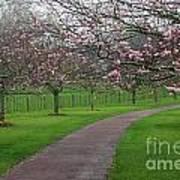Cherry Blossom Path Poster