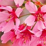 Cherry Blossom Special Poster