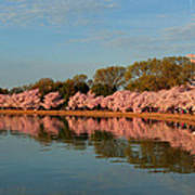 Cherry Blossoms 2013 - 001 Poster