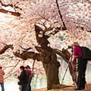Cherry Blossoms 2013 - 006 Poster