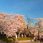 Cherry Blossoms 2013 - 015 Poster