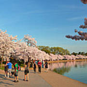 Cherry Blossoms 2013 - 020 Poster