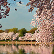 Cherry Blossoms 2013 - 023 Poster