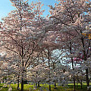 Cherry Blossoms 2013 - 049 Poster by Metro DC Photography