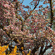 Cherry Blossoms 2013 - 051 Poster