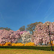 Cherry Blossoms 2013 - 052 Poster