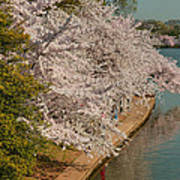 Cherry Blossoms 2013 - 053 Poster