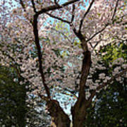 Cherry Blossoms 2013 - 056 Poster