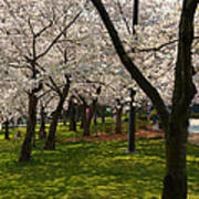 Cherry Blossoms 2013 - 057 Poster