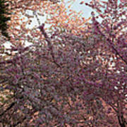 Cherry Blossoms 2013 - 065 Poster