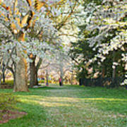 Cherry Blossoms 2013 - 075 Poster by Metro DC Photography