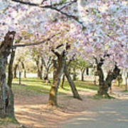 Cherry Blossoms 2013 - 099 Poster