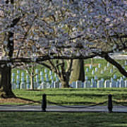Cherry Blossoms Adorn Arlington National Cemetery Poster