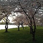 Cherry Blossoms Along The Potomac Poster