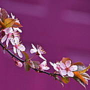 Cherry Blossoms And Plum Door Poster