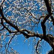 Cherry Blossoms And Sky Poster