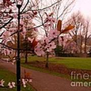 Cherry Blossoms At Kirkland In Kendal Poster