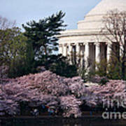 Cherry Blossoms Jefferson Memorial Poster