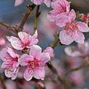 Cherry Blossoms Poster by Old Pueblo Photography