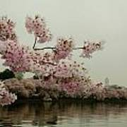 Cherry Blossoms On A Foggy Morning Poster