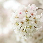 Cherry Blossoms - Washington Dc - 0113101 Poster