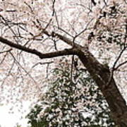 Cherry Blossoms - Washington Dc - 0113115 Poster by DC Photographer