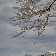 Cherry Blossoms With Jefferson Memorial - Washington Dc - 011312 Poster by DC Photographer