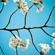 Cherry Blossoms With Sky Poster by Raimond Klavins