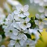 Cherry Flowers Poster