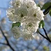 Cherry Tree Petals Poster