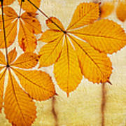 Chestnut Leaves At Autumn Poster
