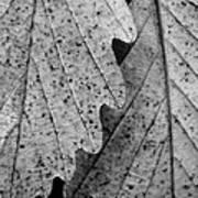 Chestnut Oak Leaves Poster