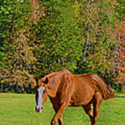 Chestnut Red Horse Poster