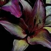 Chiaroscuro Lilies Poster