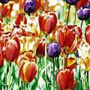 Chicago Tulips Poster