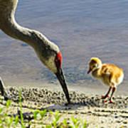 Chick At The Lake Poster