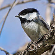 Chickadee At Carson Nature Center Poster